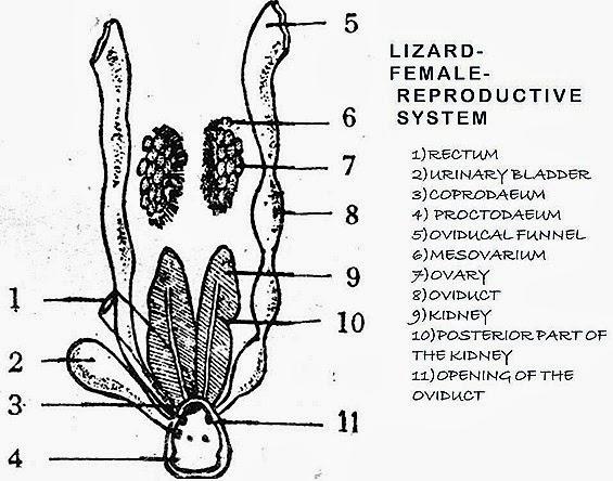 Comparision Female Reproductive System Of Bird Rabbit