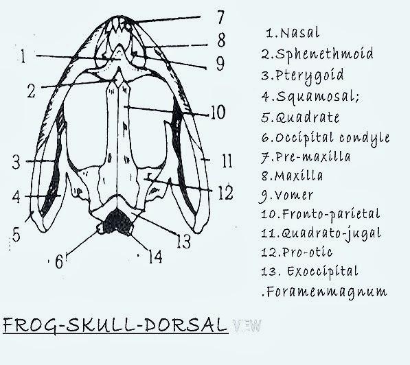 rabbit skull anatomy diagram dorsal