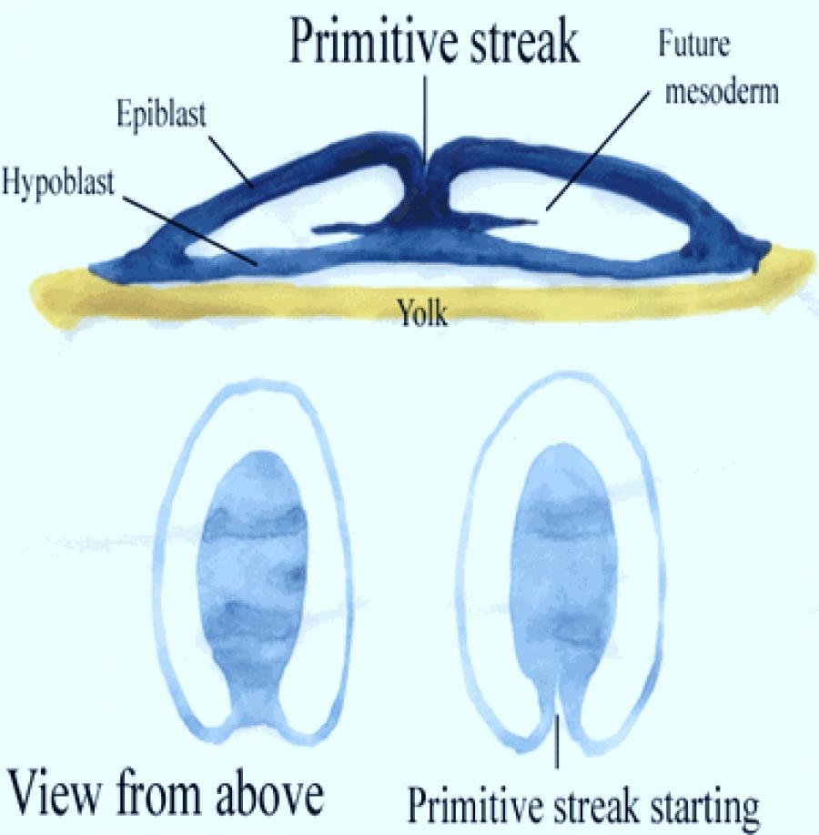 GASTRULATION IN CHICK-III - FORMATION OF PRIMITIVE STREAK & MESODERM