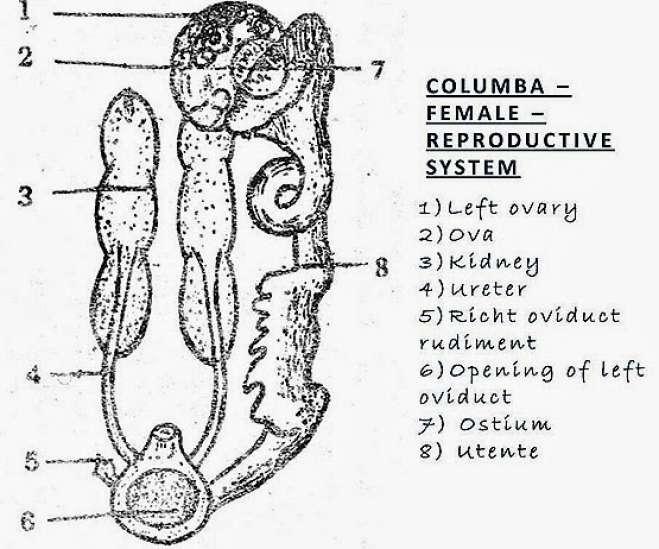 Bird (Columba) - Female Reproductive System