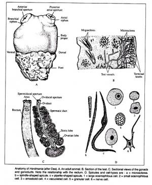 ANATOMY OF HERDMANIA