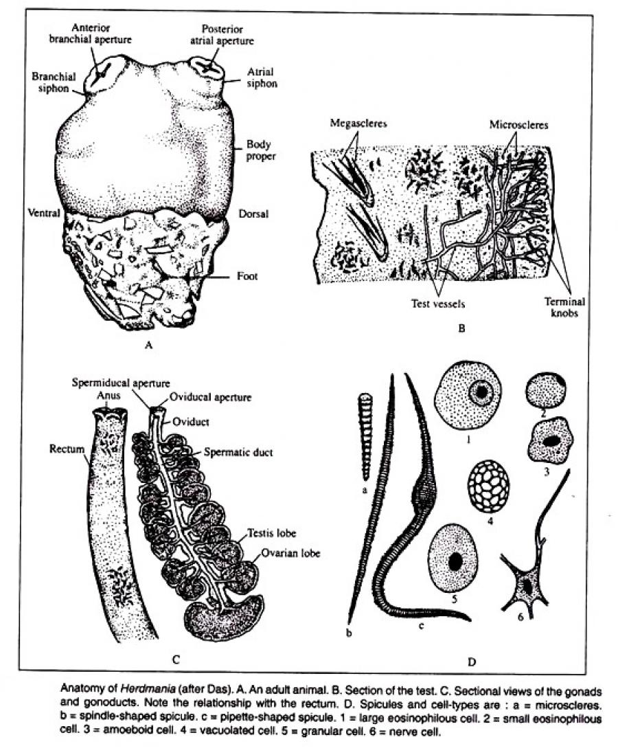 NERVOUS SYSTEM OF HERDMANIA