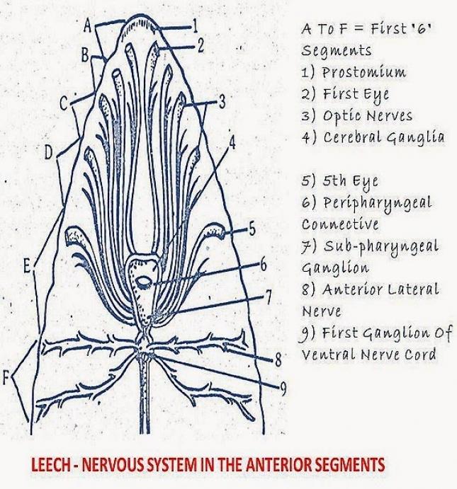 HIRUDINARIA: NERVOUS SYSTEM SENSE ORGANS