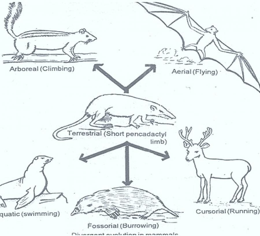 DIVERGENT EVOLUTION
