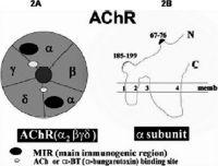 Acetylcholine Receptor (AChR) Antibody
