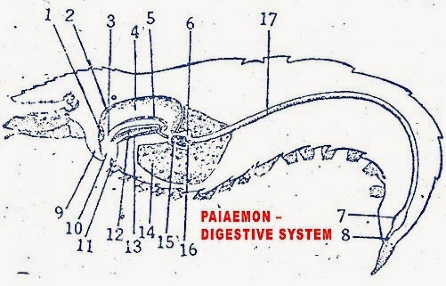 DIGESTIVE SYSTEM OF PALAEMON (PRAWN)