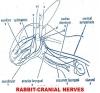 CRANIAL NERVES IN RABBIT