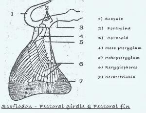 SCOLIODON: PECTORAL GIRDLE
