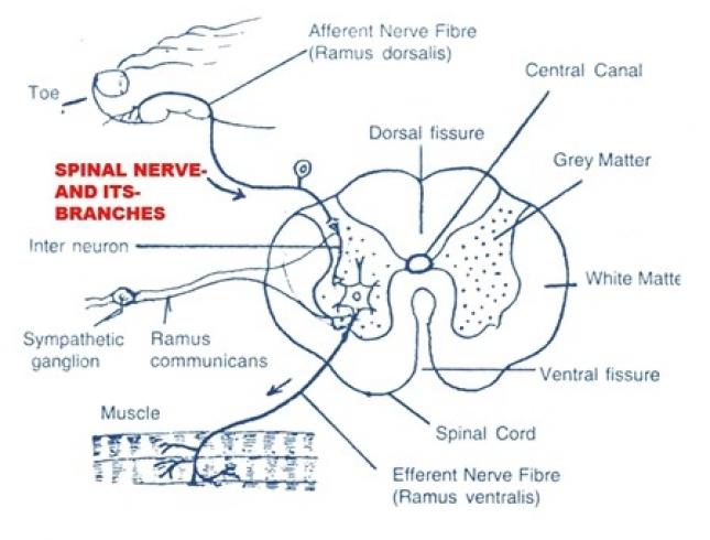 SPINAL NERVES IN RABBIT