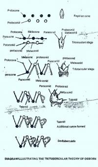 EVOLUTION OF MAMMALIAN MOLAR