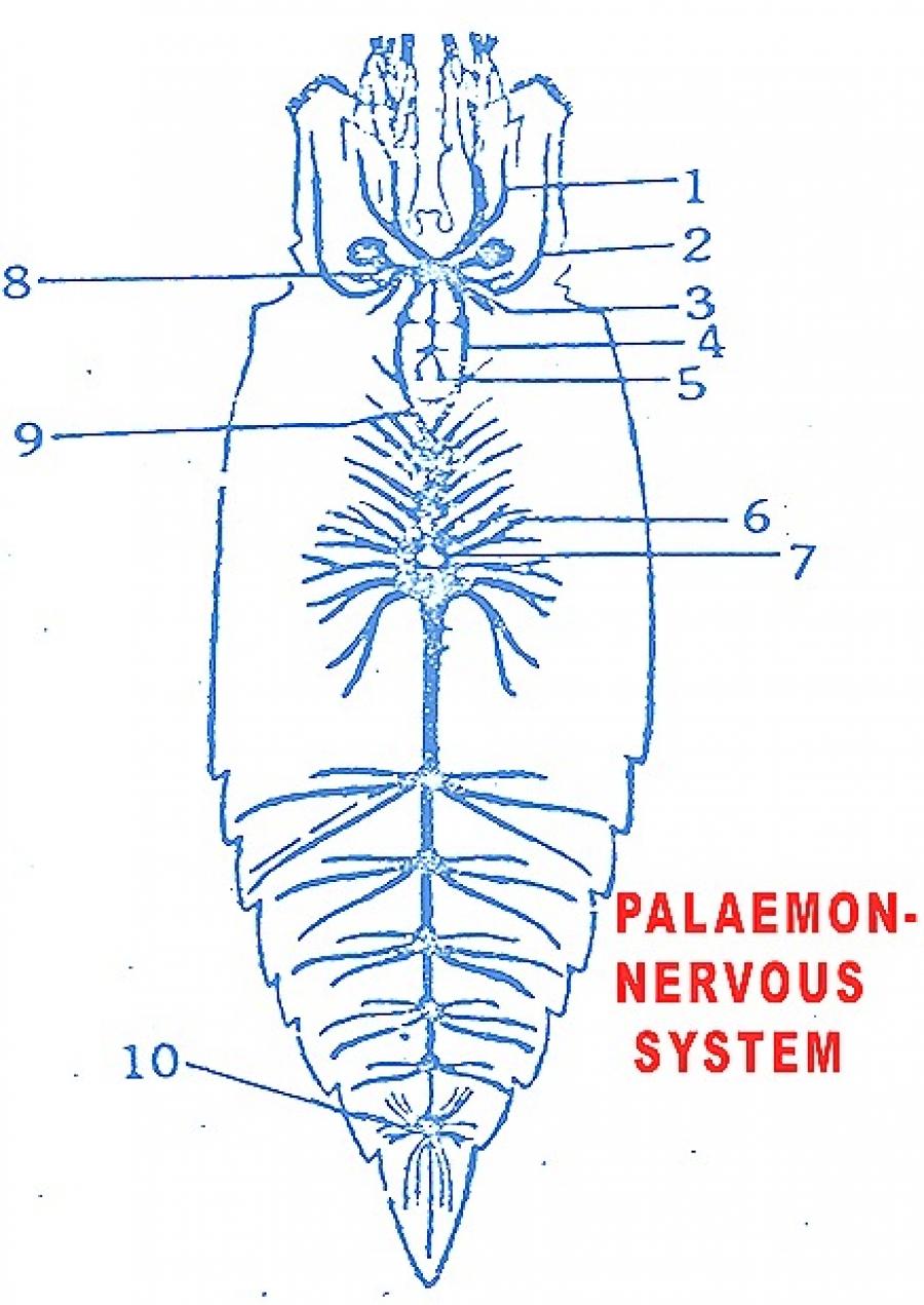 PALAEMON (PRAWN): NERVOUS SYSTEM AND SENSE ORGANS