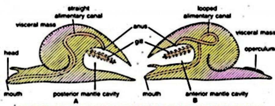 TORSION AND DETORSION IN MOLLUSCA