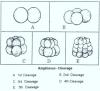 REPRODUCTION IN AMPHIOXUS: POST FERTILISATION CHANGES