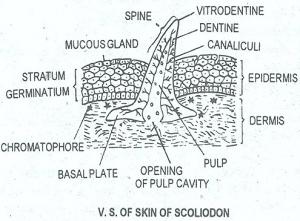 SCOLIODON-SHARK FISH SKIN V.S IMAGE
