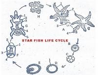 FERTILIZATION AND DEVELOPMENT IN STAR FISH