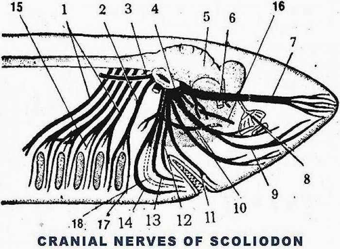 CRANIAL NERVES OF SCOLIODON (SHARK)
