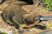 OVIPAROUS MAMMALS AND SPECIAL VIVIPAROUS ANIMALS