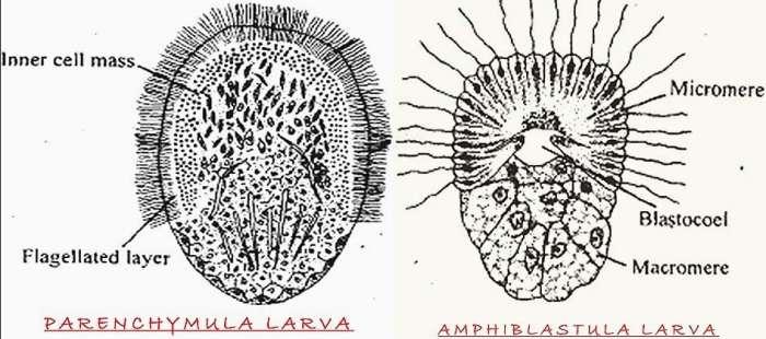 PORIFERA LARVA – PARENCHYMA AND AMPHIBLASTULA LARVA