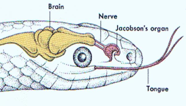 JACOBSONS ORGANS (SENSE ORGANS) IN REPTILES