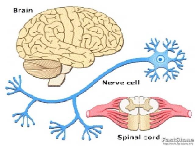 NERVOUS SYSTEM OF RABBIT