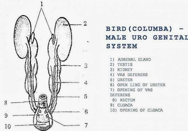 Bird (Columba) Male Urino Genital System
