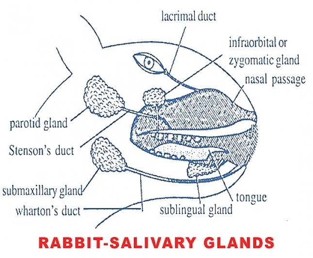 DIGESTIVE GLANDS IN RABBIT