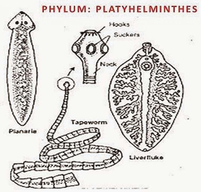 CHARACTERISTICS OF PHYLUM PLATYHELMINTHES
