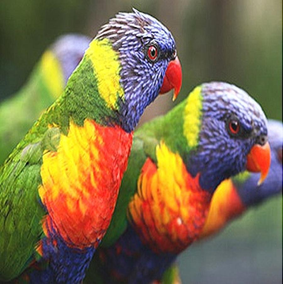 BODY WALL OF BIRDS (AVES)