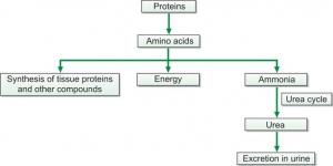Formation of urea from protein breakdown