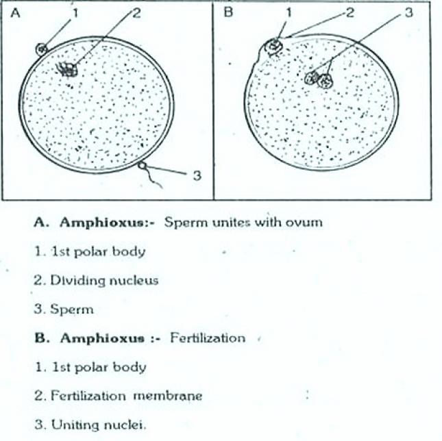 REPRODUCTION IN AMPHIOXUS