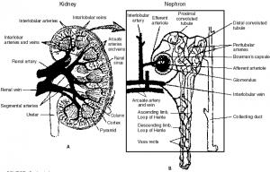 HUMAN KIDNEY AND NEPHRON