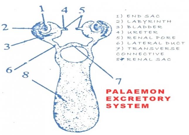 PALAEMON (PRAWN) EXCRETORY SYSTEM