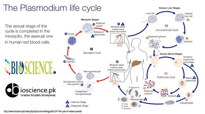 Life Cycle of Malaria Parasite