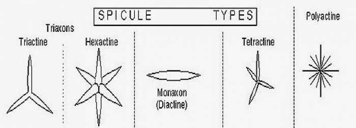 SYCON SPONGE - SPICULES
