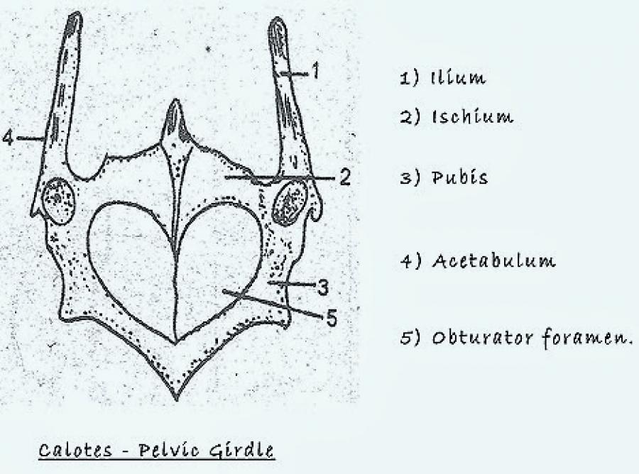 COMPARATIVE ANATOMY: PELVIC GIRDLE OF BIRD, REPTILE AND MAMMAL